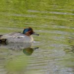 コガモ  Anas crecca  GREEN-WINGED TEAL
