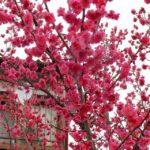 ひとんちだけど鮮やかな紅梅 2015.3.6 栃木県小山市