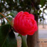 バラのような八重のツバキ 2015.3.4 栃木県小山市