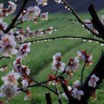 雨上がりのウメ 2015.3.10 栃木県小山市