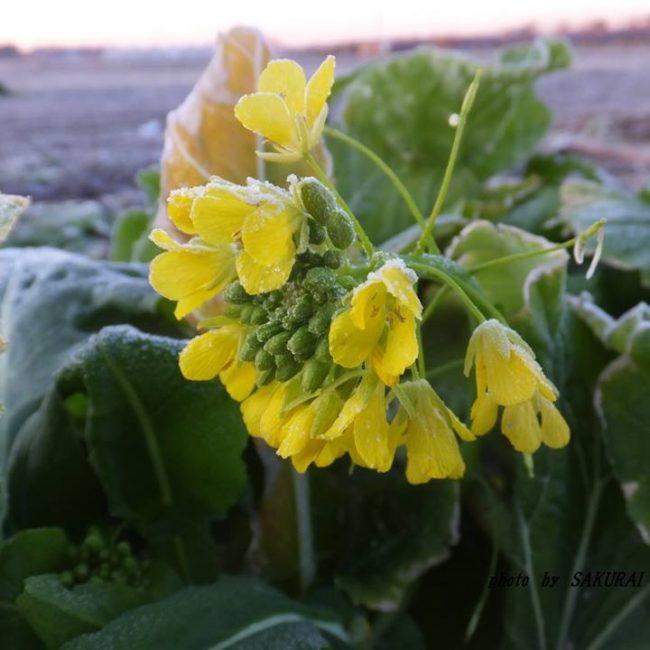 チンゲンサイの花 2015.1.29