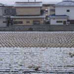まだ収穫残っている雪の白菜畑 2015.1.30 栃木県小山市