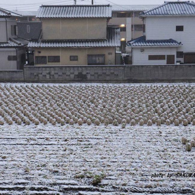雪の白菜畑 2015.1.30
