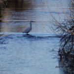 青い空が映った川でたたずむコサギ 2015.2.1 栃木県小山市