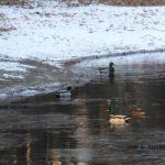 雪と氷の世界を生きるマガモたち 2015.2.1 栃木県小山市