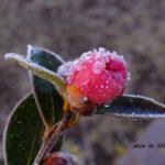 昨日降った雪の下で耐えるサザンカのつぼみ 2015.2.7 栃木県小山市