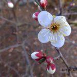 咲き始めたウメ 2015.2.15 栃木県小山市