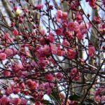急に春めいた感じの八重寒紅 2015.2.16 栃木県小山市