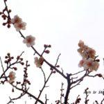 咲き始めたばかりのウメの花 2015.2.20 栃木県小山市