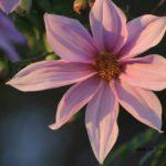 ピンクの大きな花が咲く背の高い皇帝ダリア 2014.11.24 栃木県小山市