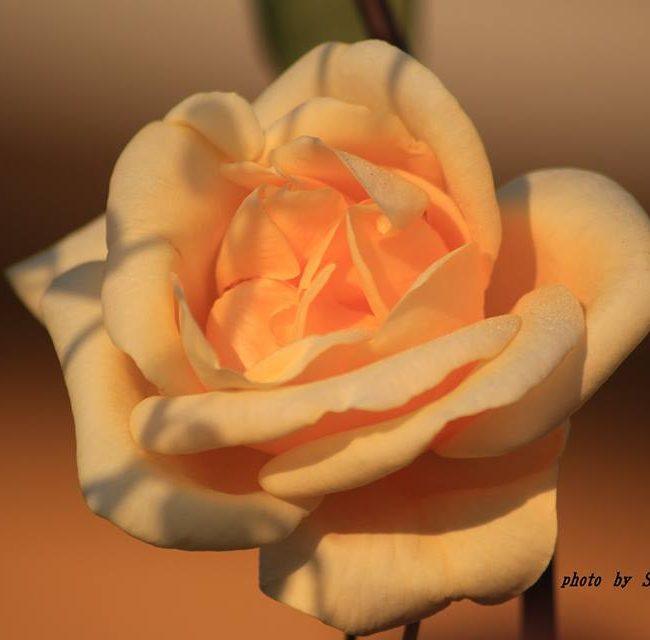 黄色いバラ 2014.11.25