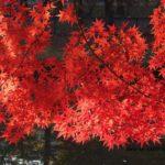 散歩コースの中でいちばん鮮やかなイロハモミジ 2014.11.26 栃木県小山市