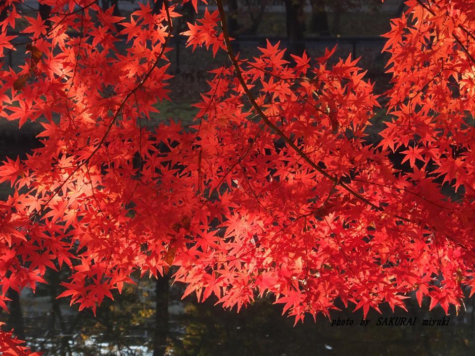 イロハモミジ紅葉 2014.11.26