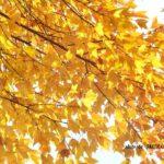 鮮やかな黄色が素敵なトウカエデ黄葉 2014.11.29 栃木県小山市