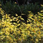春先のレンギョウの花のようなヤマブキの黄葉 2014.11.30 栃木県小山市
