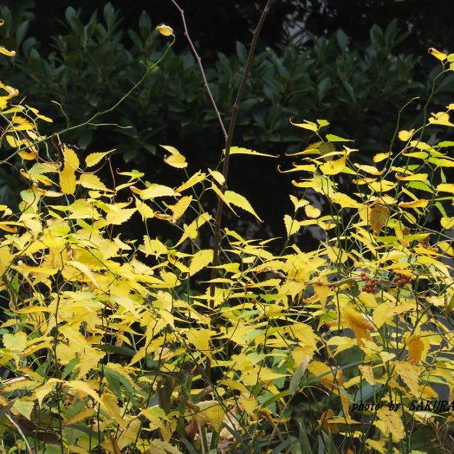ヤマブキ 黄葉 2014.11.30
