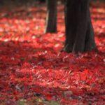 モミジ落葉で赤くなる地面 2014.12.1 栃木県小山市
