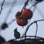 柿食う客メジロ 2014.12.5 栃木県小山市