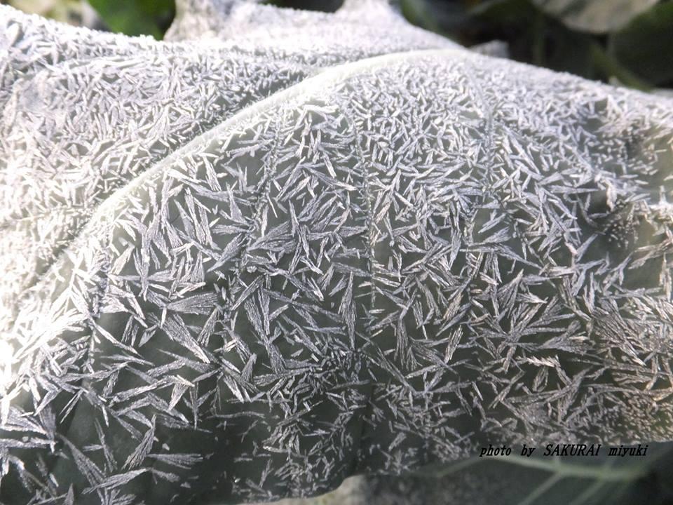 ブロッコリの葉の霜 2014.12.6