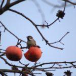 珍しく柿を食うスズメ 2014.12.6 栃木県小山市