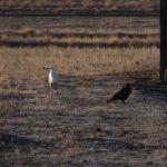 白いサギと黒いカラスでカラーなのにモノクロのような写真 2014.12.14 栃木県小山市
