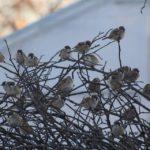 スズメのなる木 2014.12.15 栃木県小山市