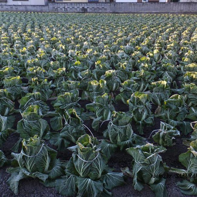 白菜畑 2014.12.19