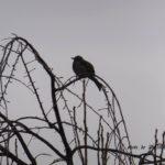 暗い曇りの暗いヒヨドリ 2014.12.20 栃木県小山市