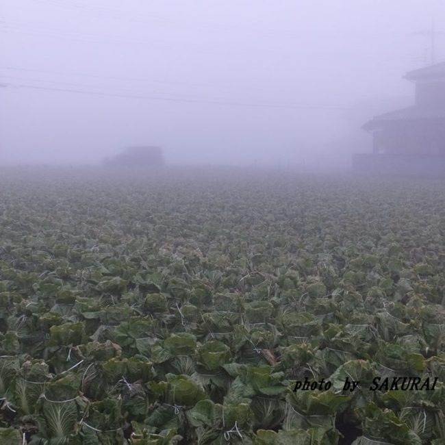 霧の白菜畑 2014.12.30