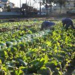 たった二人で採るはくさいの収穫風景 2015.1.7 栃木県小山市