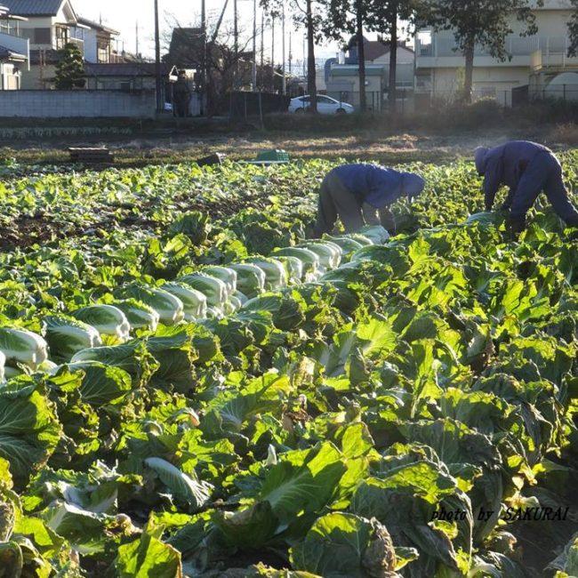 はくさい収穫 2015.1.7