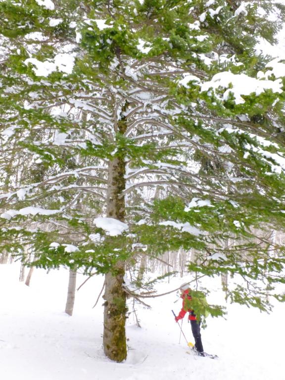樹齢約300年のウラジロモミの木