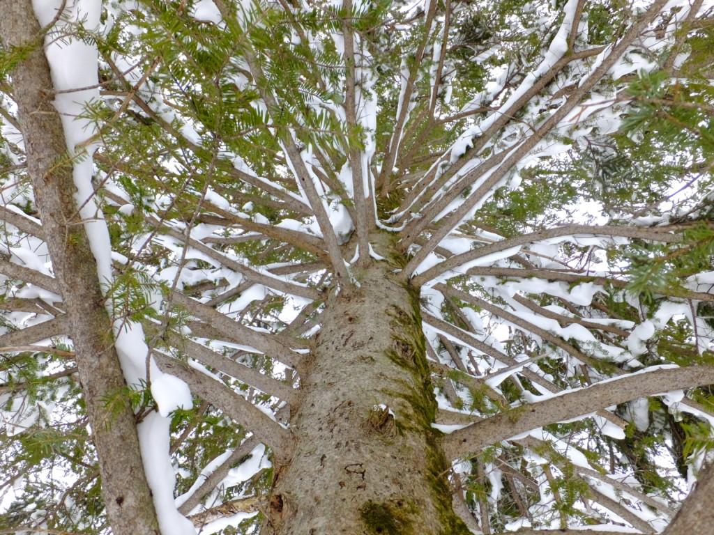 ウラジロモミの木を見上げる