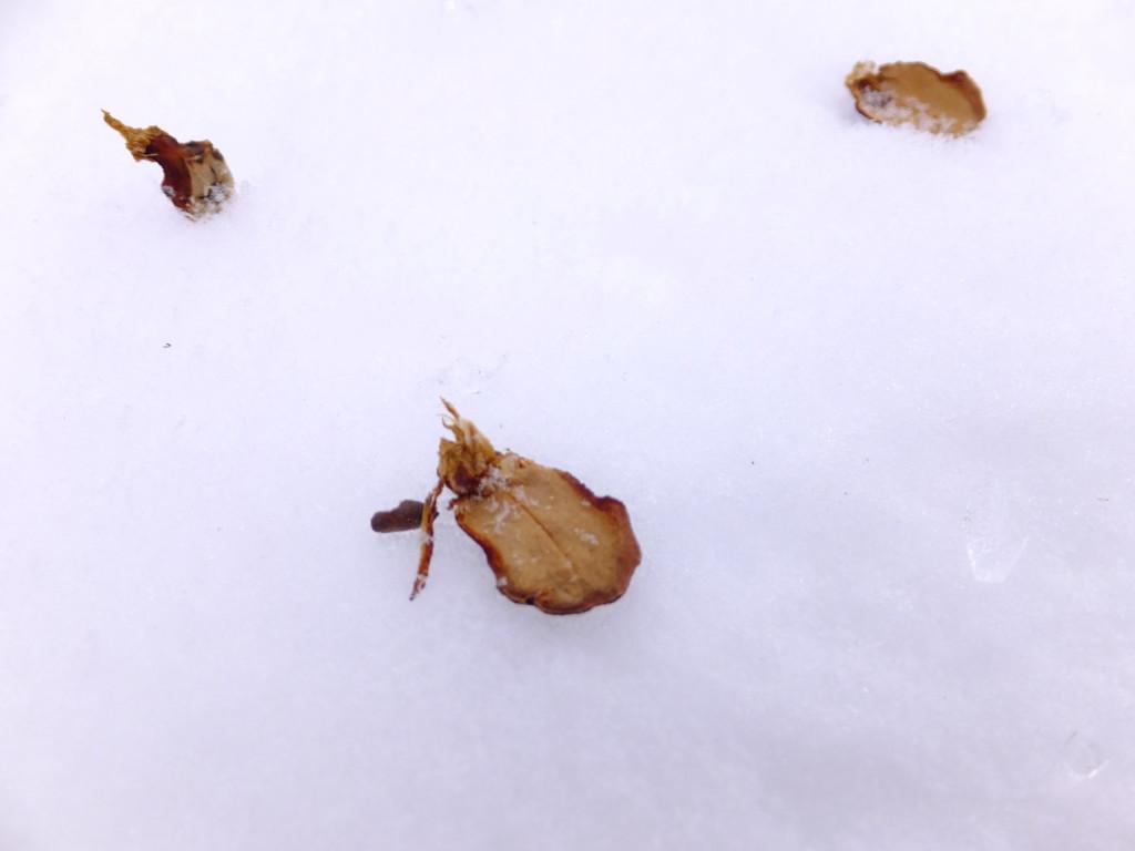 リスが食べたコメツガの破片