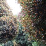 この時期になると気づくあの木もこの木もキンモクセイ 2014.10.1 栃木県小山市