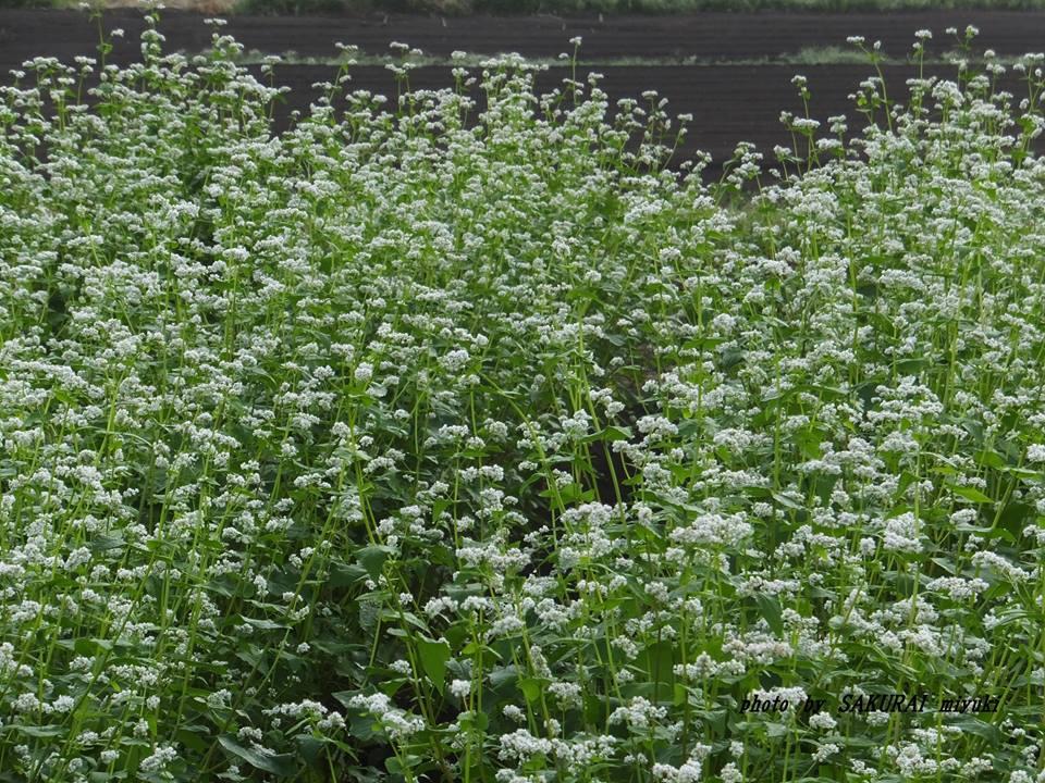 ソバの花 2014.10.5