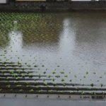 台風で水浸しのハクサイ畑 2014.10.6 栃木県小山市