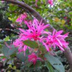 通常は春咲くみたいだけど、今頃咲くベニバナトキワマンサク 2014.10.11 栃木県小山市