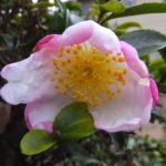 全体白いけどまわりピンクのサザンカ 2014.10.12 栃木県小山市