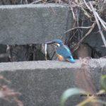 ダイブしてキャッチした魚をくわえるカワセミ 2014.10.15 栃木県小山市