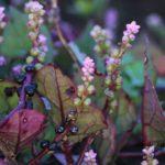 ツルムラサキの花と果実、撮ってみました 2014.10.20 栃木県小山市