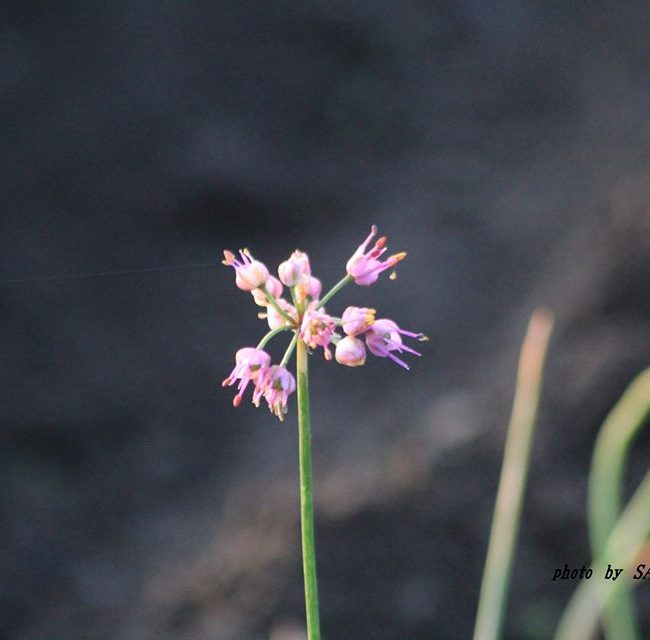 ラッキョウの花 2014.10.24