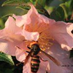 サザンカの蜜にきたスズメバチ 2014.10.24 栃木県小山市