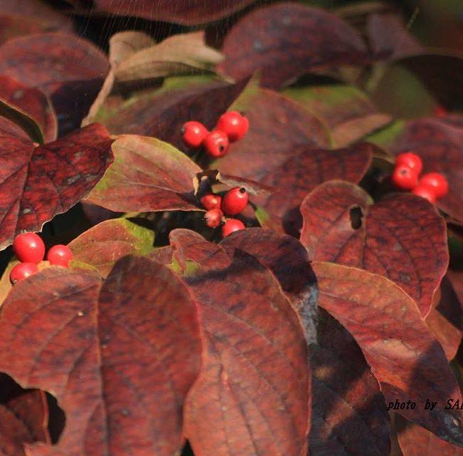 ハナミズキ紅葉と果実 2014.10.26