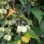 ムカゴじゃないウチワのようなヤマノイモの果実 2014.10.27 栃木県小山市