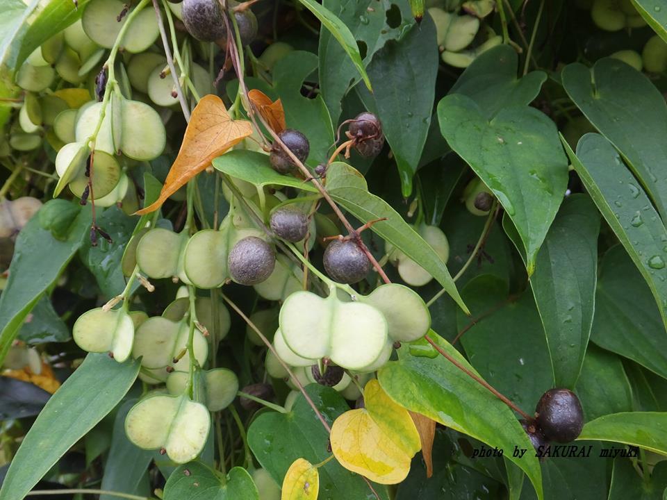 ヤマノイモの果実 2014.10.27