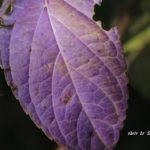なんとも不思議な紫色したアジサイの葉っぱ 2014.10.28 栃木県小山市