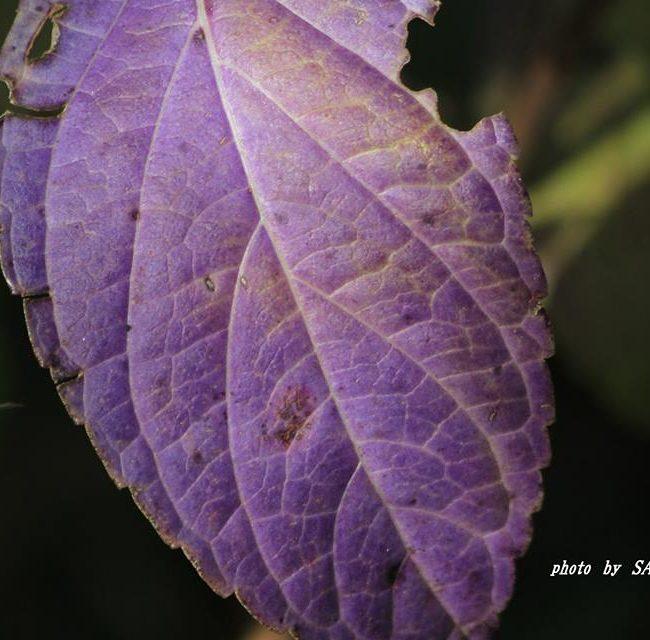 アジサイの葉っぱ 2014.10.28
