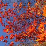 ひときわ鮮やかカエデの紅葉 2014.10.29 栃木県日光市 湯ノ湖