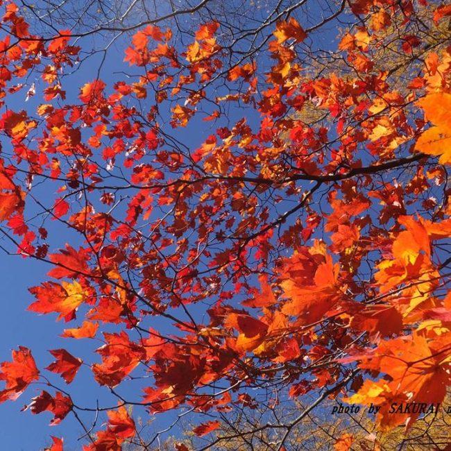 カエデの紅葉 2014.10.29